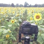 Tripod setup for sunflower shoot