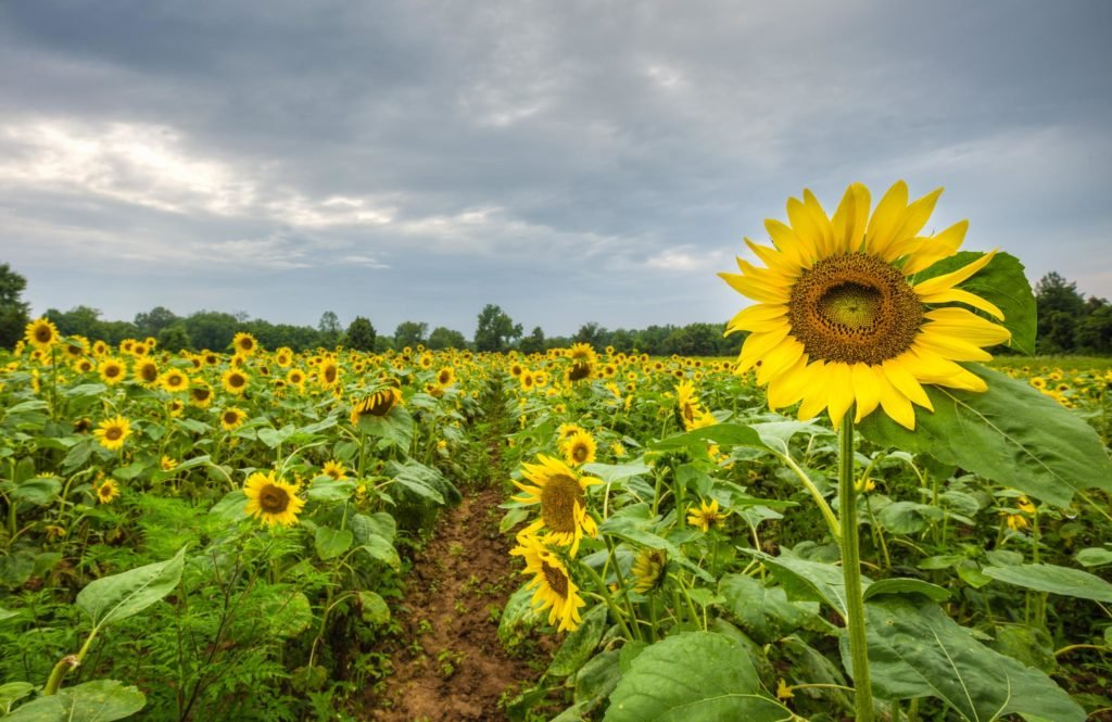Sunflower at McKee Beshers in Maryland