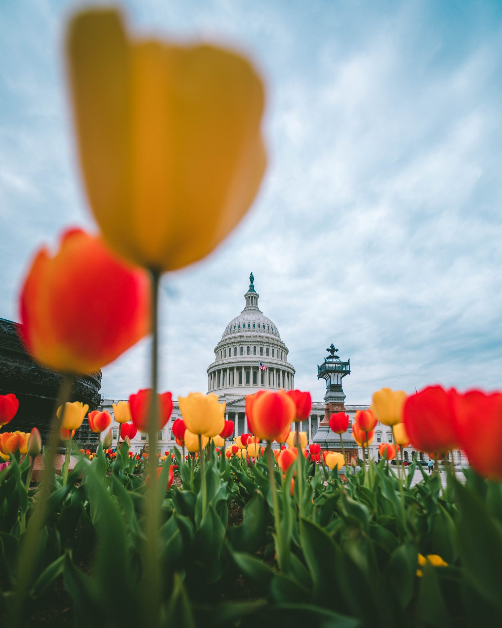 Tulips At The Us Capitol 1