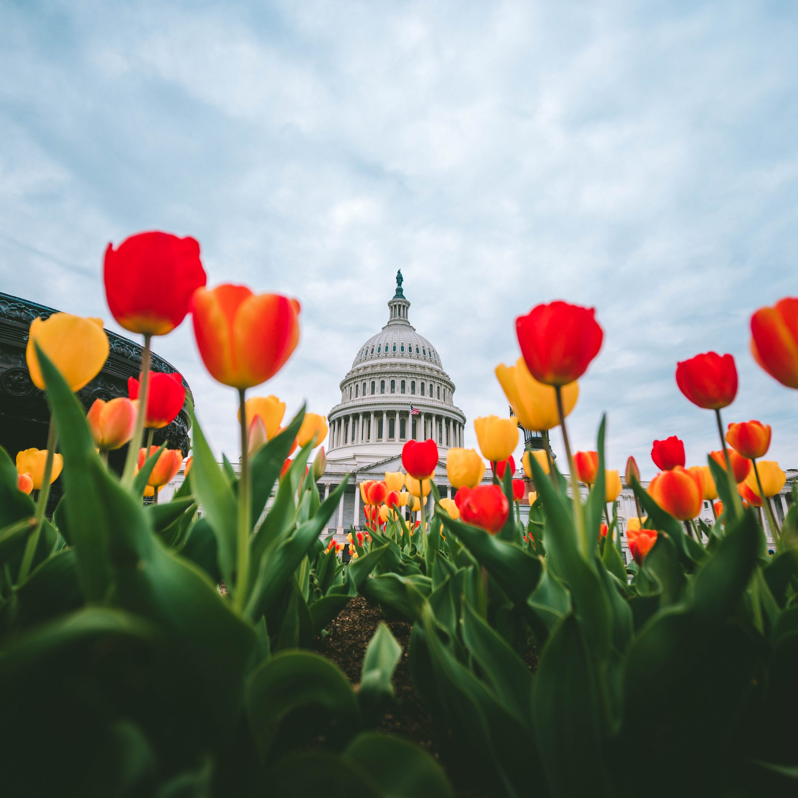 Tulips At The Us Capitol 3