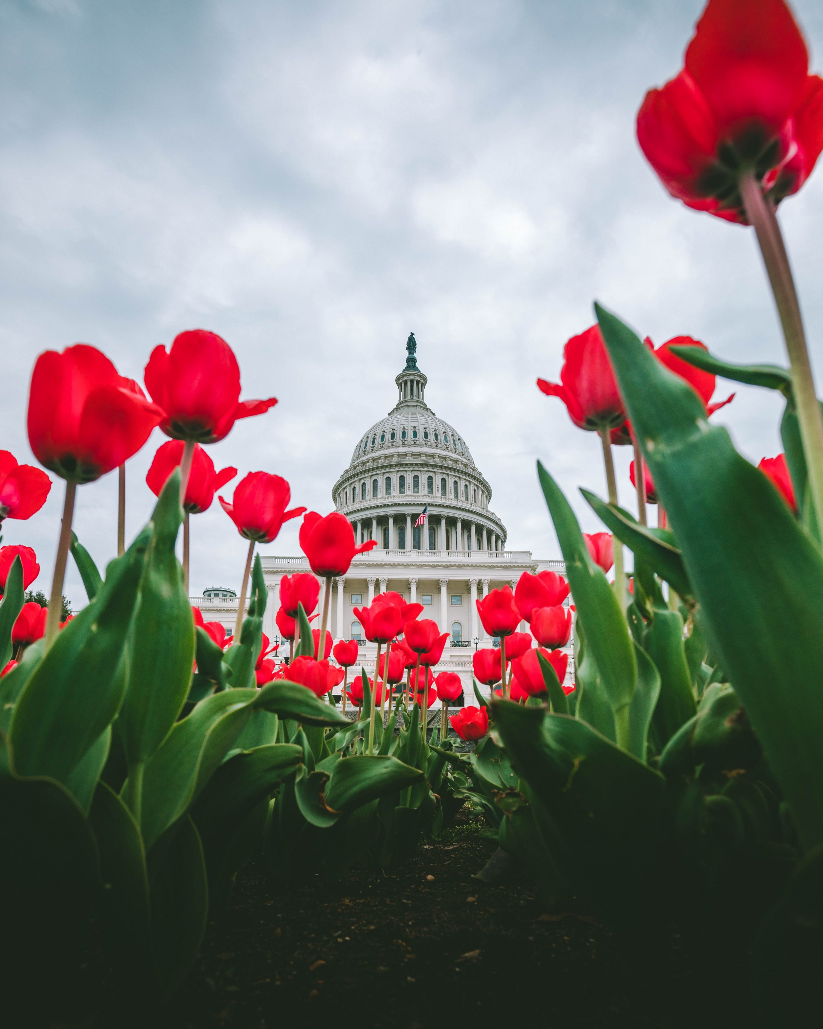 Tulips At The Us Capitol 4