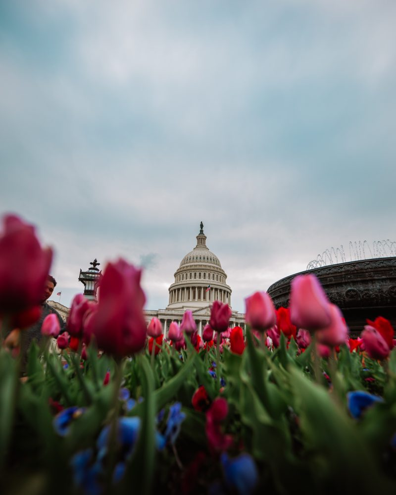 Tulups At The United States Capitol