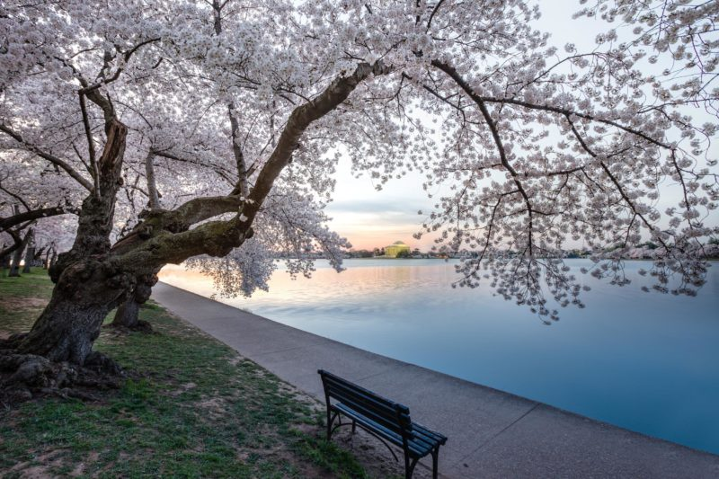 Cherry Blossom Hanging over Jefferson Memorial