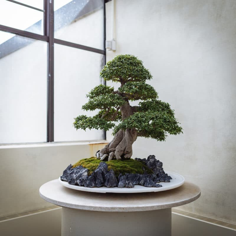national arboretum bonsai tree 2