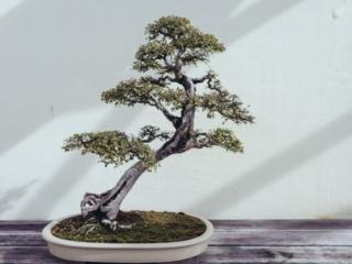 National Arboretum Bonsai Tree