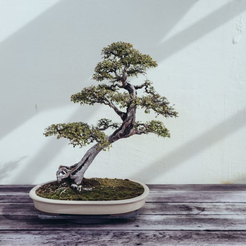 National Arboretum Bonsai Tree