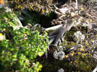 National Arboretum Bonsai Tree Figurine Mini