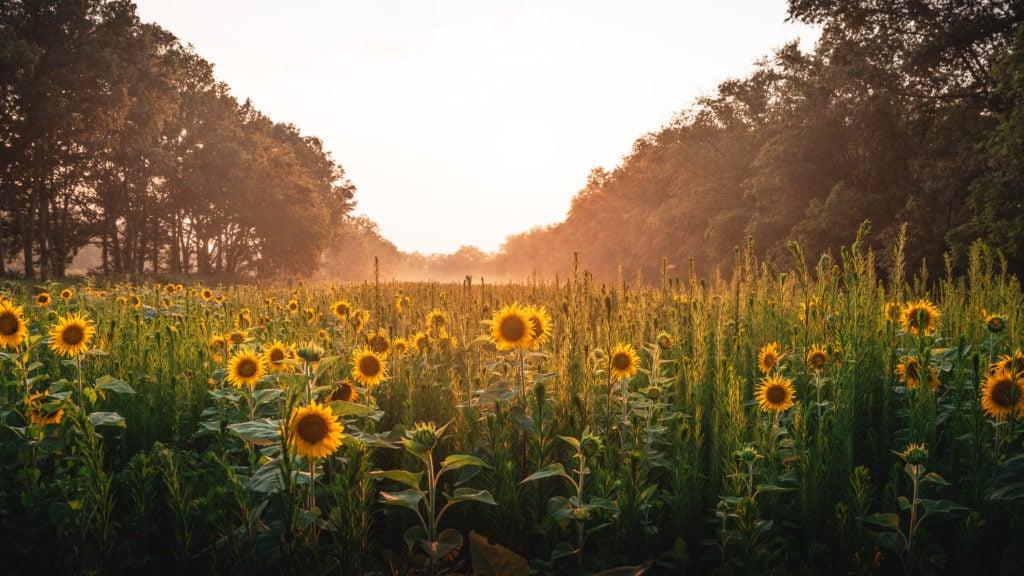 McKee Beshers sunflowers at sunset