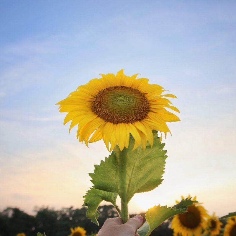 Sunflower Field Maryland Sunset