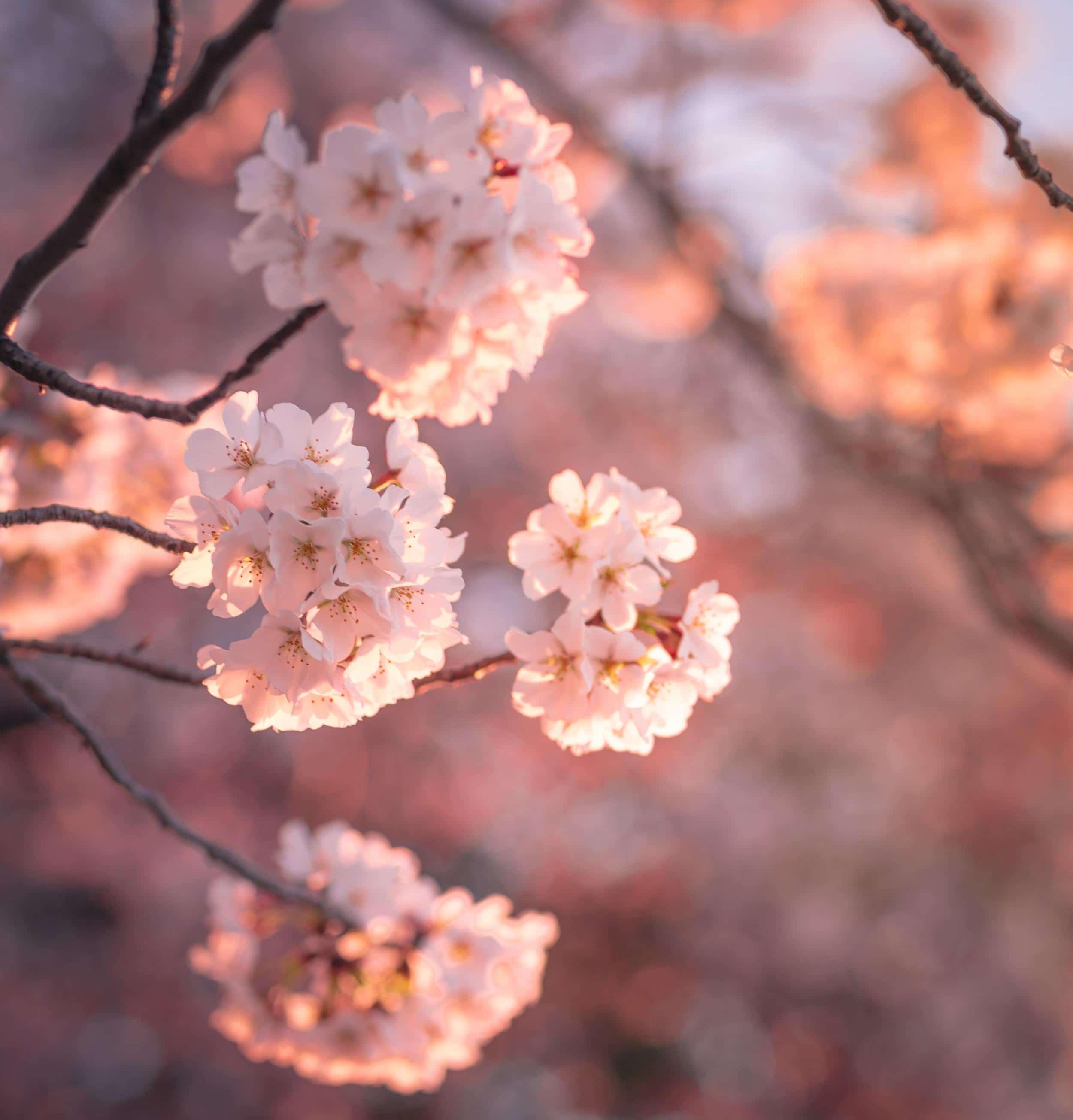 amazing photos of peak cherry blossom bloom in dc