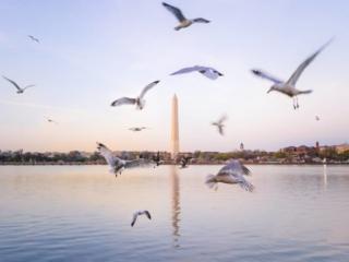 Dc Birds Around Monument