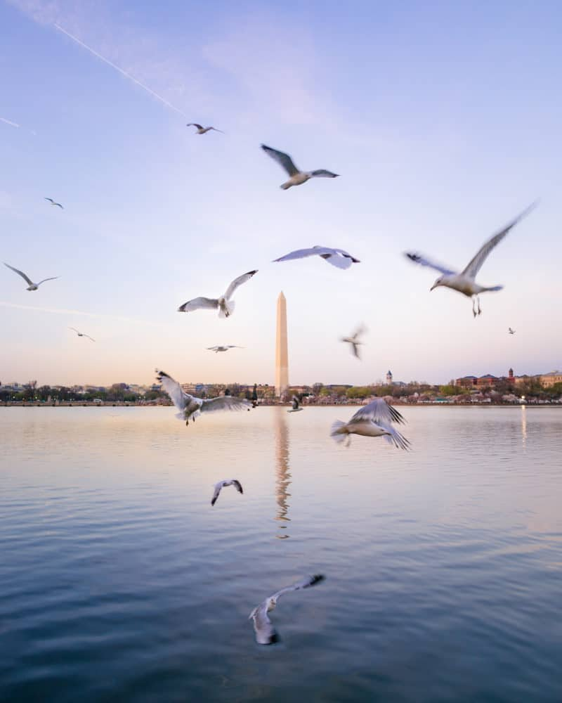 View of the Washington Monument from the Tidal Basin with birds