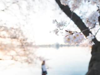 Dc Cherry Blossoms Peak Bloom