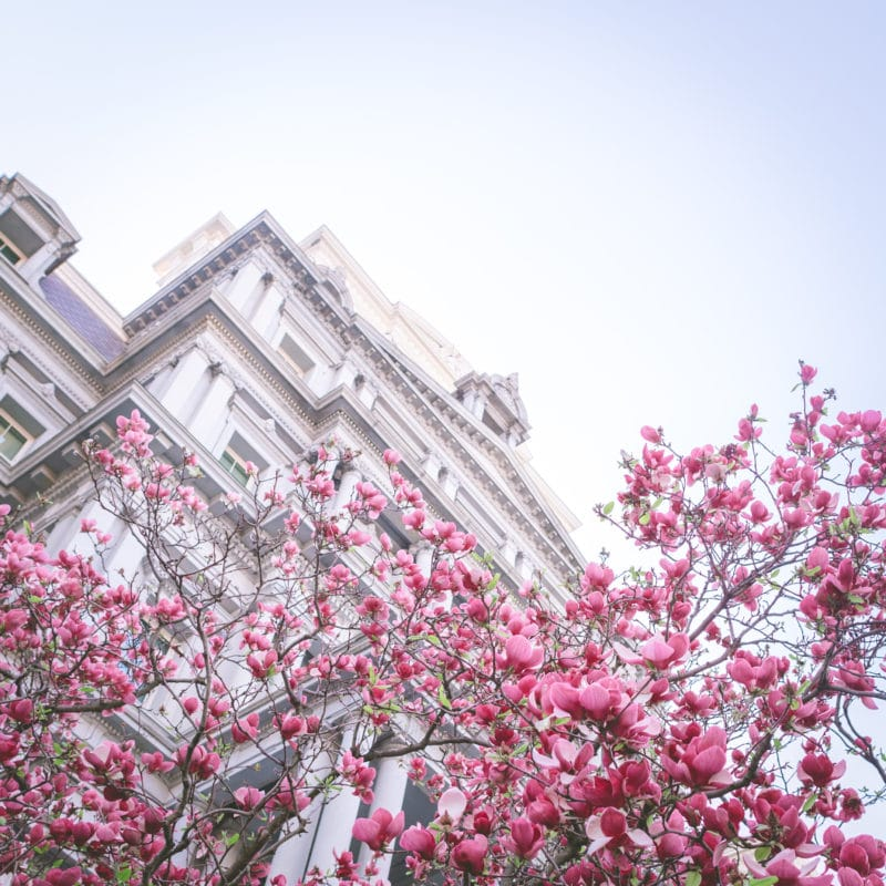 Dc Magnolias Eisenhower Executive Building