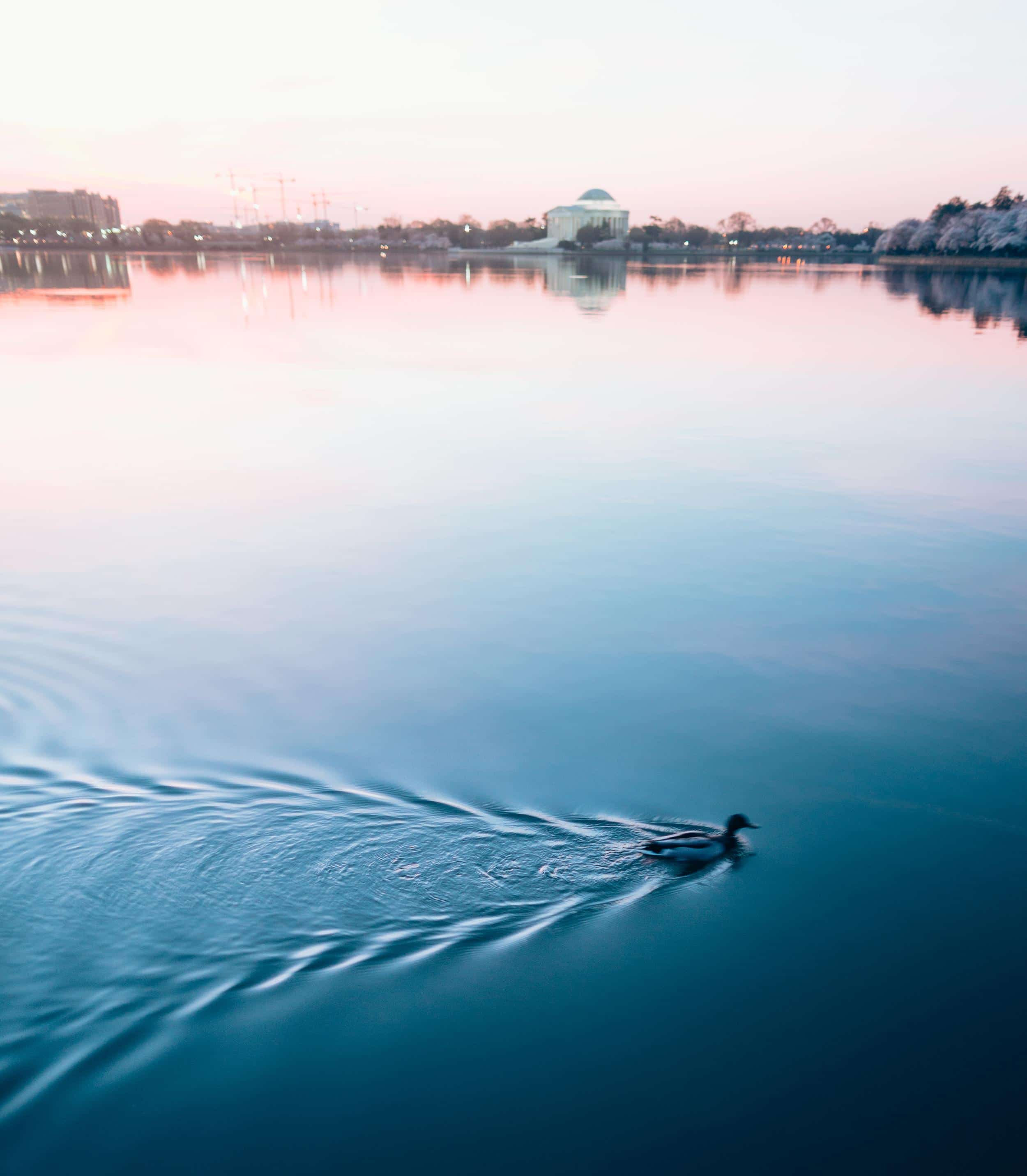 Duck At Sunrise In Dc