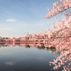 Peak Cherry Blossom Bloom In Washington DC