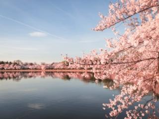Peak Cherry Blossom Bloom In Washington DC