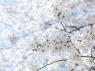Cherry Blossom Close Up White