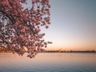 Cherry Blossom Sunset Jefferson Memorial