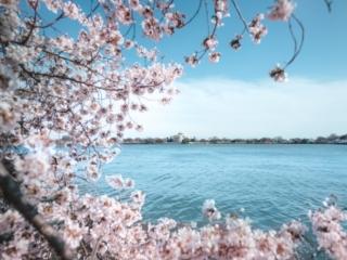 Cherry Blossoms Peak Bloom Day