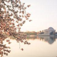 Guide to Washington DC Cherry Blossoms