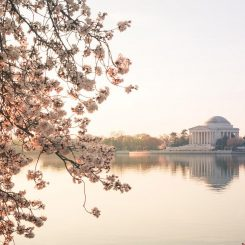 Sunrise Over Jefferson Cherry Blossoms