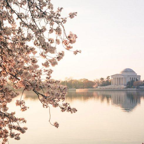 Sunrise Over Jefferson Cherry Blossoms
