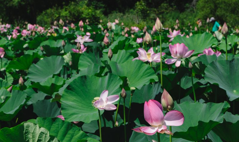 Kenilworth Aquatic Gardens