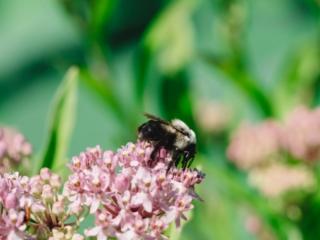 Kenilworth Aquatic Gardens Bee