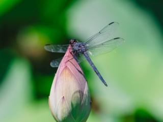 Kenilworth Aquatic Gardens Dragon Fly