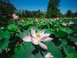 Kenilworth Aquatic Gardens Lotus