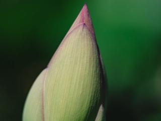 Kenilworth Aquatic Gardens Lotus Bulb