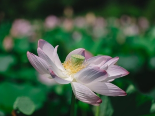 Kenilworth Aquatic Gardens Pink Lotus
