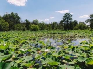 Kenilworth Aquatic Gardens Pond