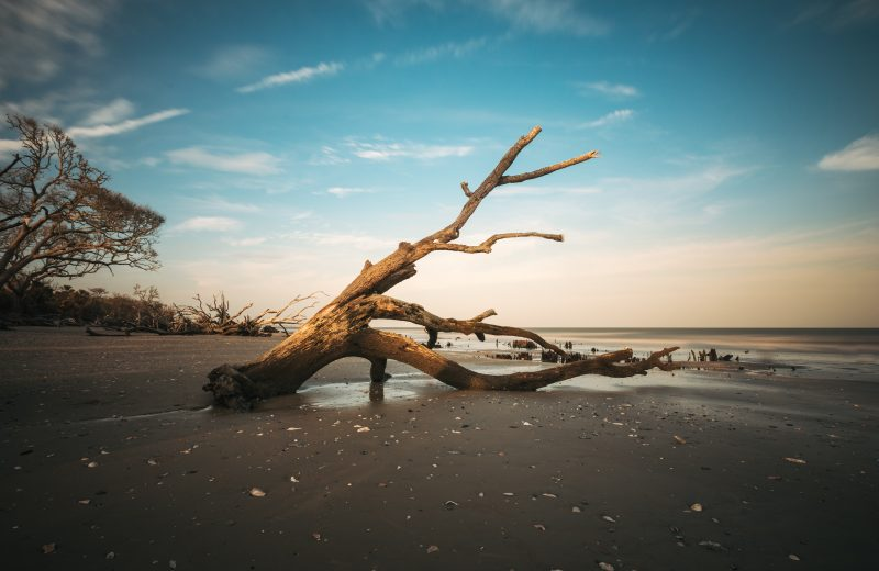Dead Tree At Botany Bay Sc