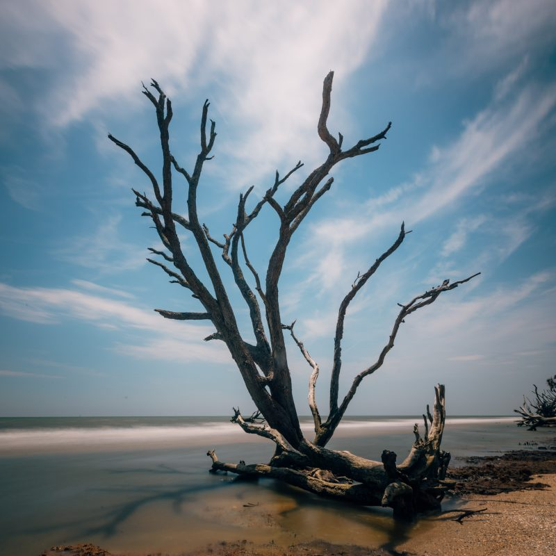 Dead Tree On Botany Bay Beach