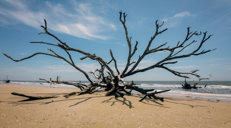 Dead Tree Stump On Botany Bay