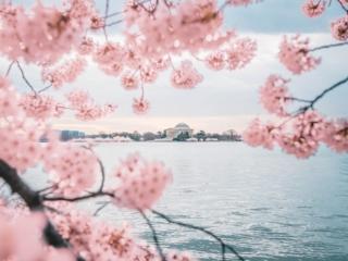 Jefferson Memorial Peak Bloom Cherry Blossoms
