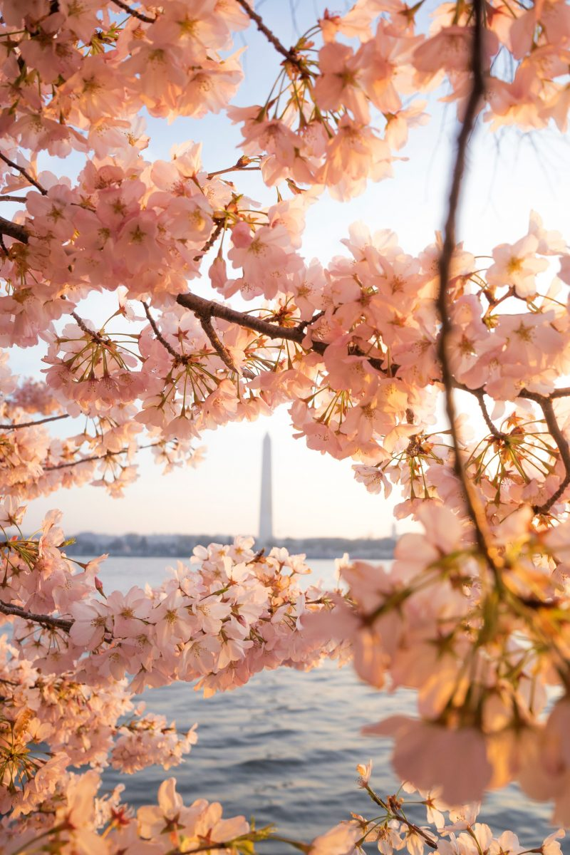 Monument Cherry Blossoms Angela Pan Print