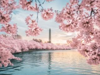 Washington Monument Peak Bloom Cherry Blossoms